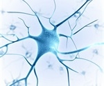 Neurod4 gene found to be the key factor in nerve regeneration after spinal cord injury