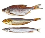 Overfishing likely did not cause genetic changes in the Atlantic cod