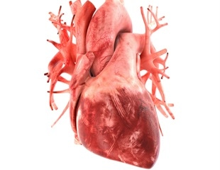 Stress signal from fat cells could help protect against cardiac damage induced by obesity