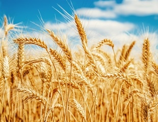 JIC-CIMMYT collaboration aims to find solutions for the world's wheat farmers and consumers