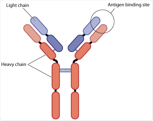 Structure of an antibody, showing the light and heavy chains. The antigen binding site is also highlighted. By Blamb