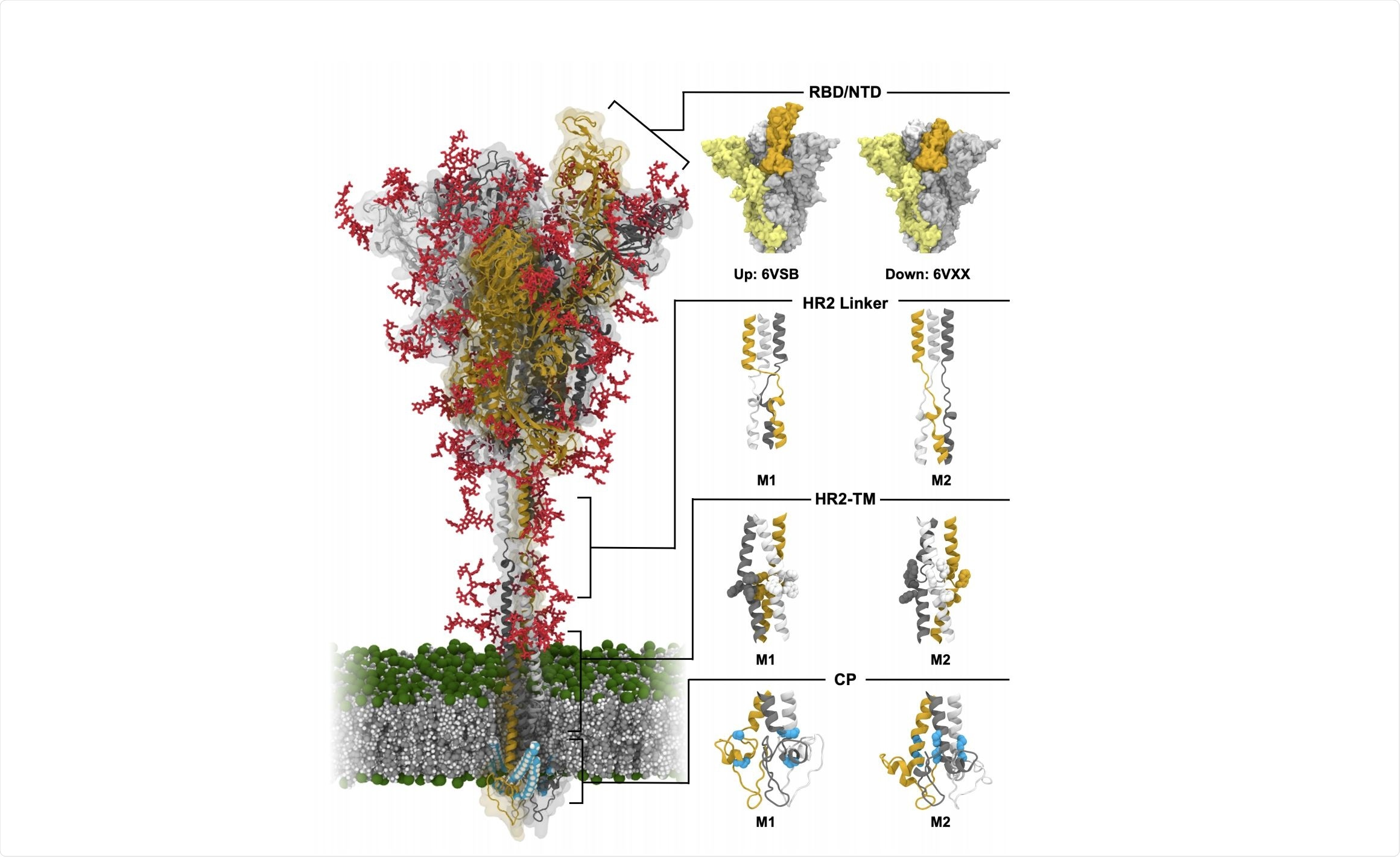 Model structure of fully-glycosylated full-length SARS-CoV-2 S protein in a viral membrane.