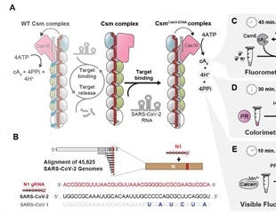 Exploiting CRISPR systems for the fast detection of SARS-CoV-2