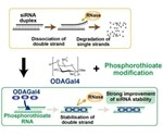 Researchers develop a new method for siRNA stabilization