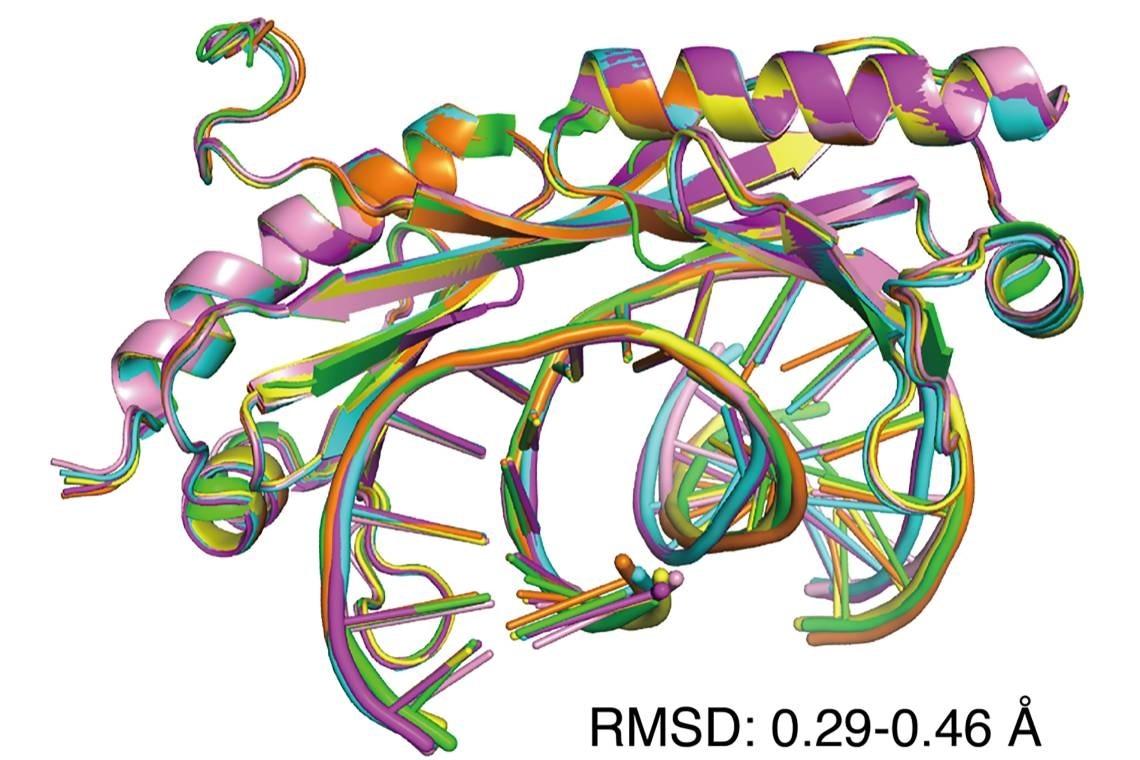 Study explains role of transcription factors in genetic diseases