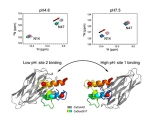 Study shows adverse effect of pH-dependent switch in protein interaction