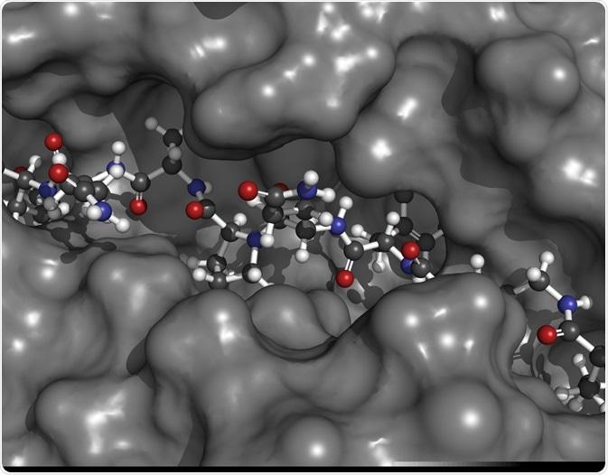 MHC II immune system protein