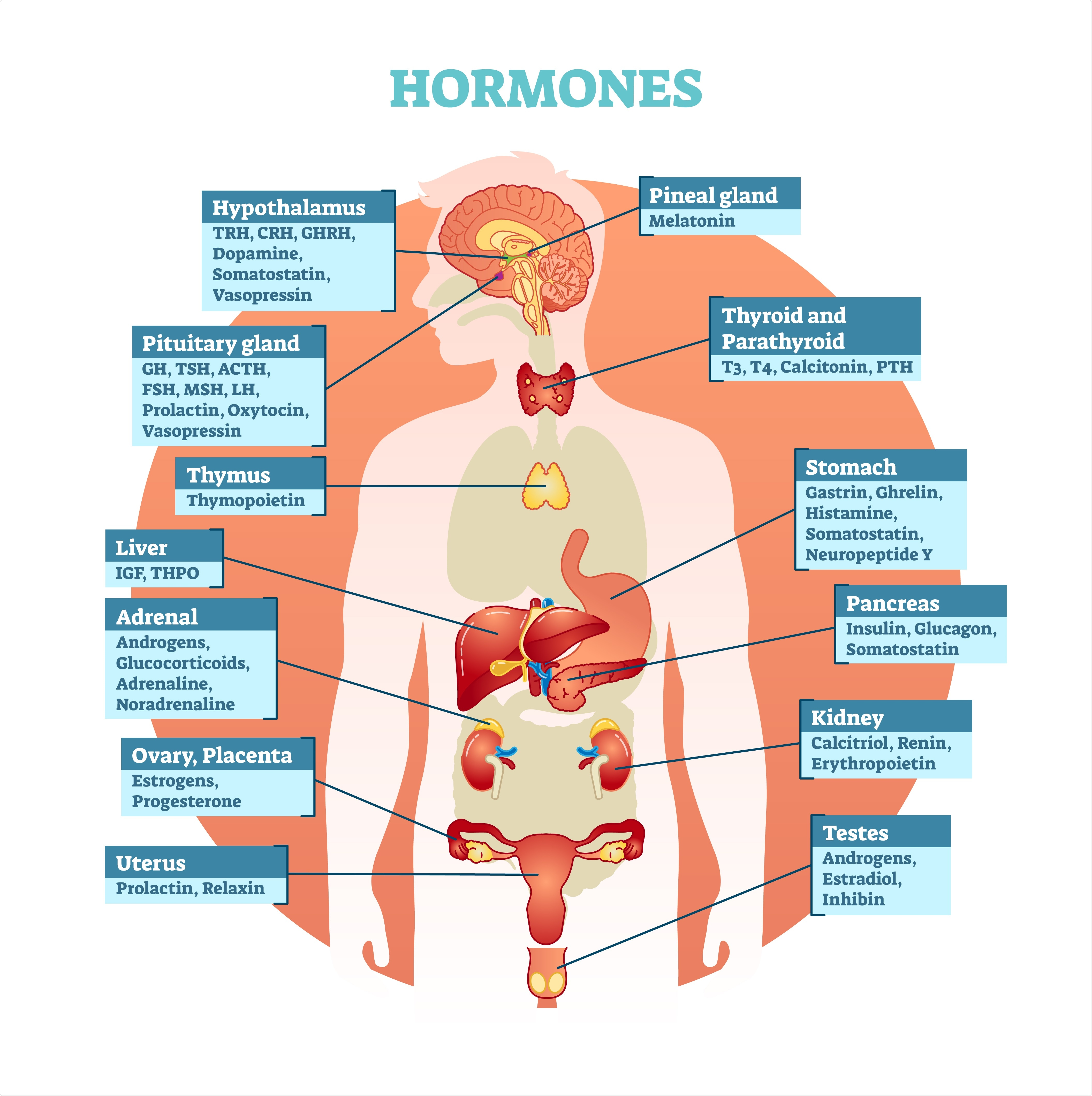 Hormonal System