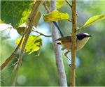 Wild purple-crowned fairy-wren may hold the key to better understanding immune function