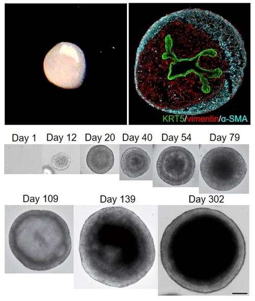 Researchers create3D miniature organs that precisely mimic human tissues