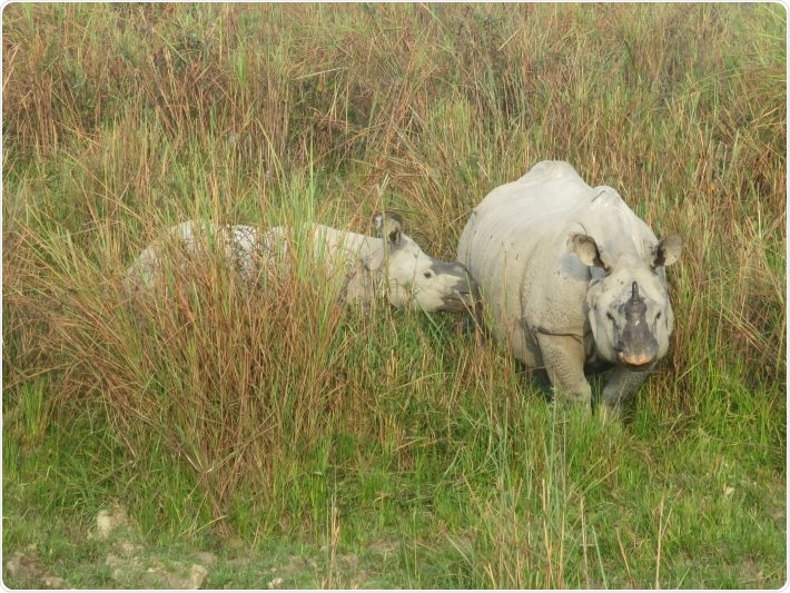 Researchers use unique DNA markers to tackle rhino poaching