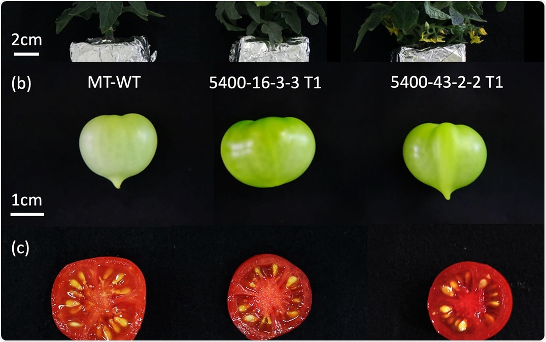 Gene editing technology can introduce diversity, improve nutrition of tomatoes
