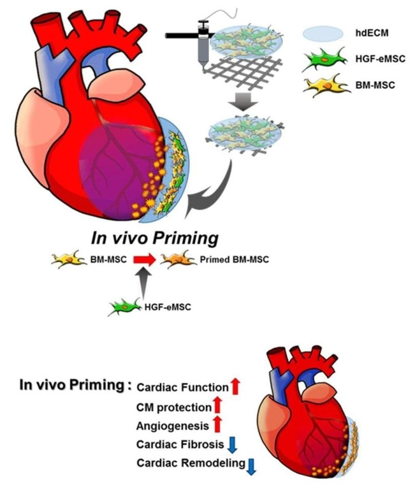 Stem cell strategy can help improve the effectiveness of cardiac repair