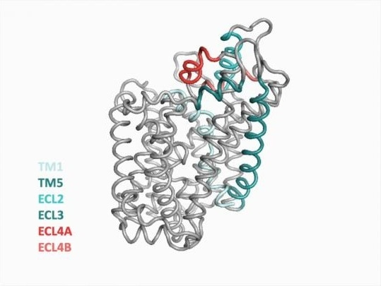 Researchers successfully crystallize and map novel conformation of LeuT transporter
