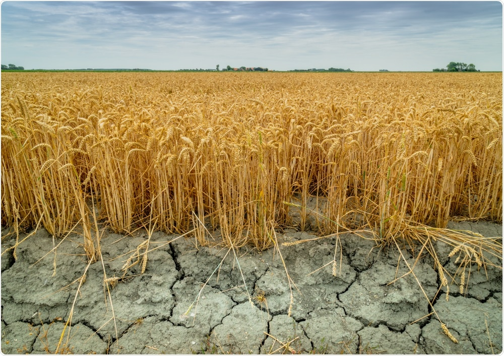 Wheat crops in drought