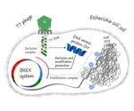 Study shows how DNA mimic protein helps phages to attack their victims
