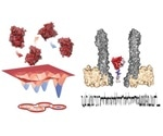 Study reveals shape-shifting enzyme dihydrofolate reductase is associated with catalysis