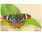 Study on butterfly breeding sheds light on the evolution of iridescent colors