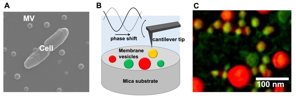 Physical properties of extracellular bacterial membrane vesicles are significantly diverse
