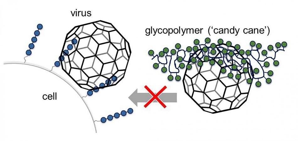 Glycomimetics can prevent viruses from infecting cells