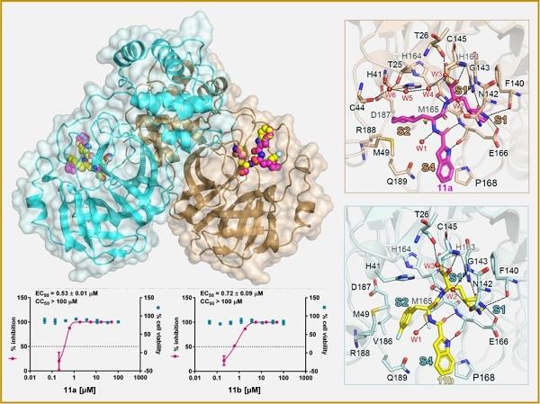 Study develops novel compounds that inhibit SARS-CoV-2 main protease