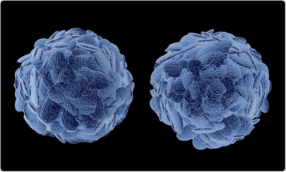 Treg. T lymphocytes