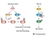 Researchers discover a key regulating factor for alternative autophagy