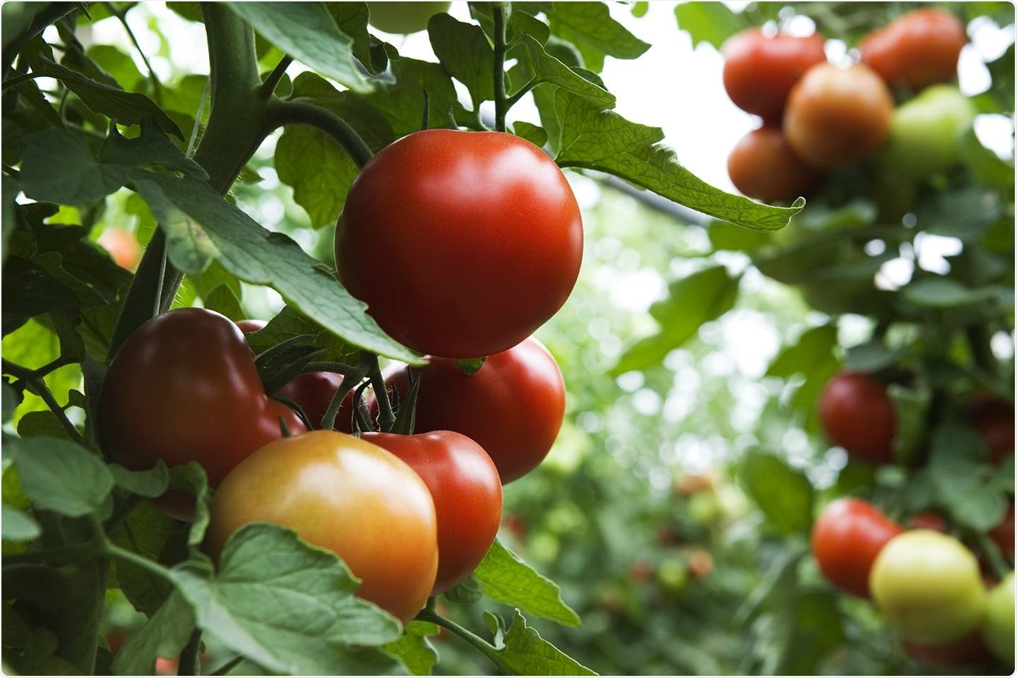 Researchers discover DNA differences in 100 varieties of tomatoes