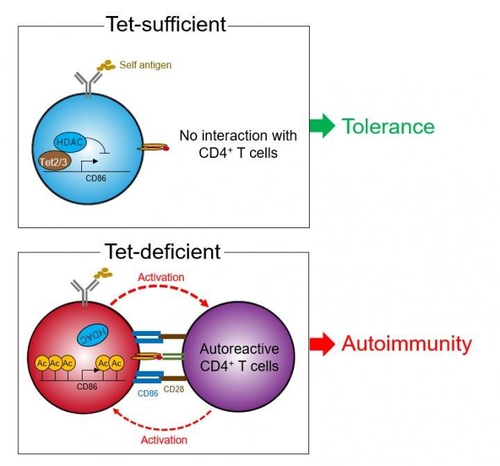 Study shows how epigenetics contribute to the development of autoimmune diseases