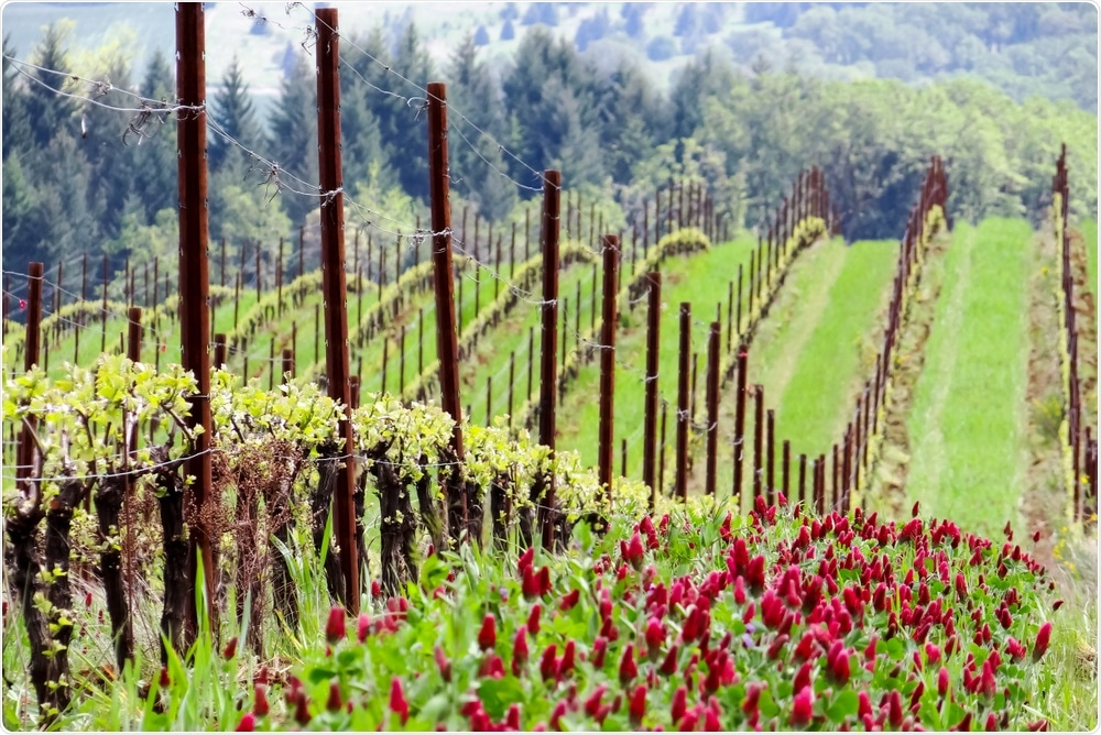 Cover crop used in vineyards