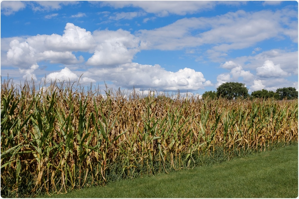 US corn field