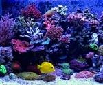 Bleaching affects Aquarium Corals