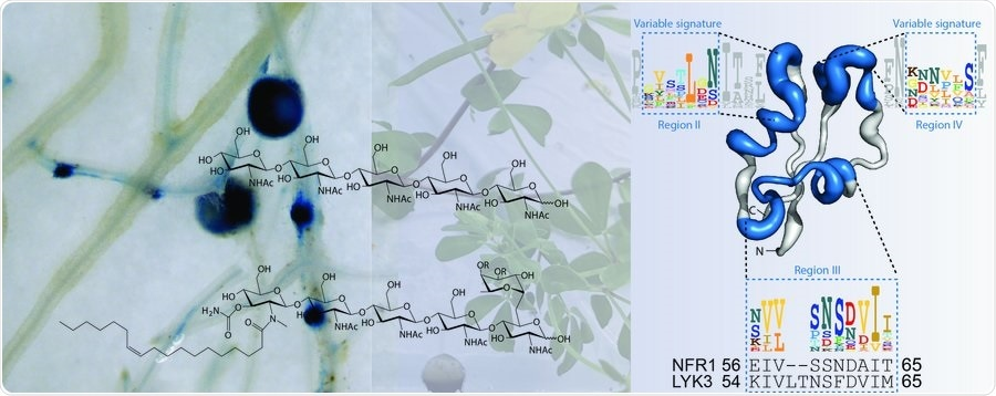 Study shows how legumes recognize beneficial microbes from harmful ones
