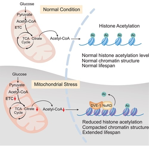 Study uncovers molecular mechanism of metabolite-mediated epigenome involved in organismal aging