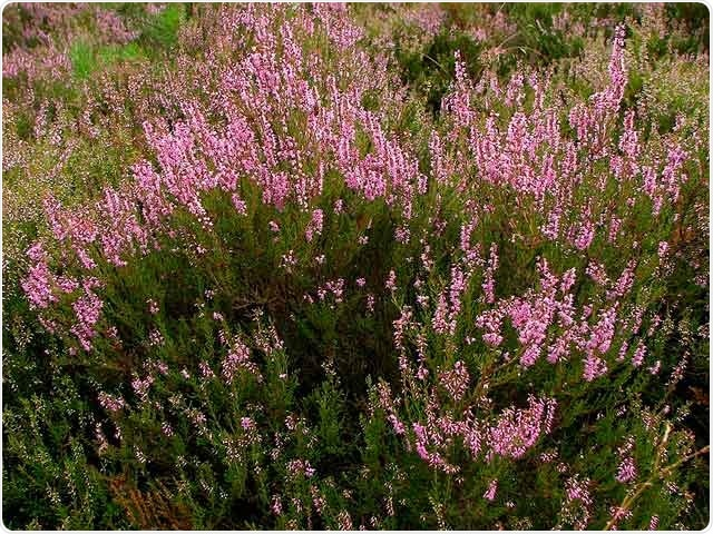 Study shows heather plant is a valuable source of antioxidants