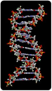 Study shows human genome regulates the early development of organs