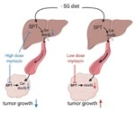 "Researchers identify metabolically responsive ""switch"" that reduces tumor growth"