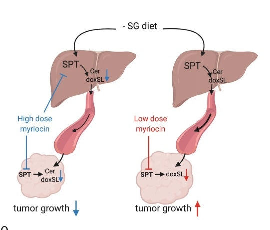 """Researchers identify metabolically responsive """"switch"""" that reduces tumor growth"""
