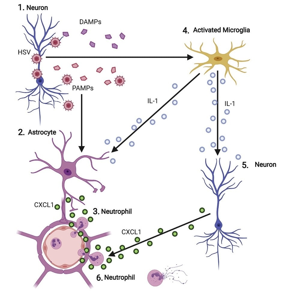 Study shows immune cells contribute to brain infection