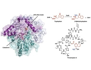 Study reveals unusual chemical steps involved in the synthesis of antibiotics