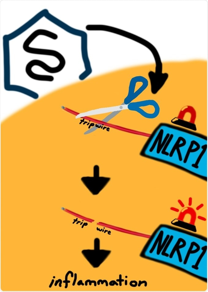 Study reveals NLRP1 protein that serves as sensor for invasive pathogens