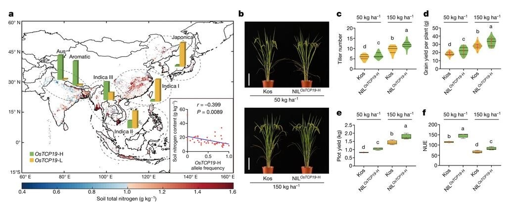 Scientists identify gene that helps rice adapt to low soil nitrogen