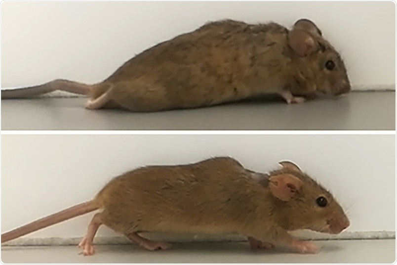 Gene therapy helps paralyzed mice to walk again