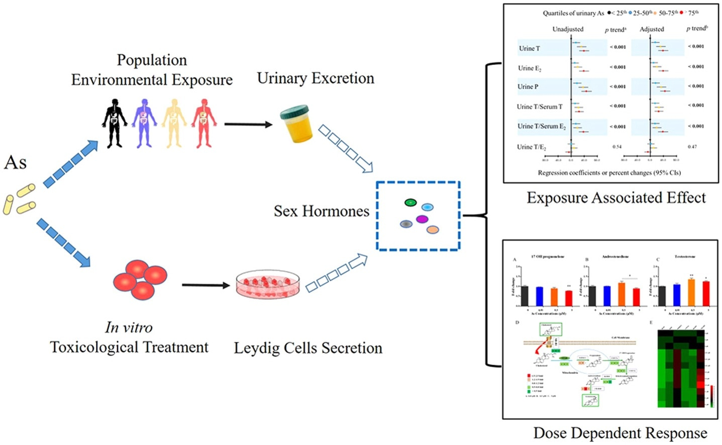 Study identifies new mode of male endocrine disruption due to environmental arsenic exposure