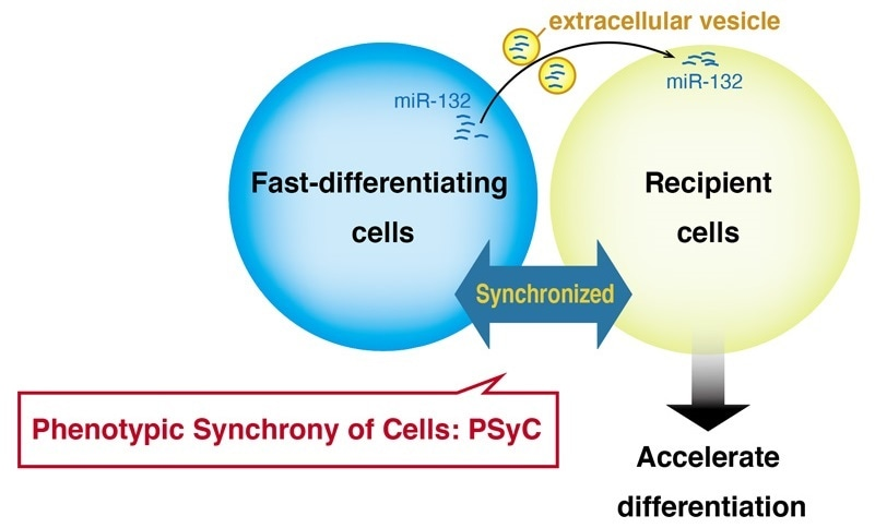 Extracellular vesicles synchronize cell activity, says study