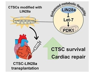 Stem cell therapy for heart disease enhanced with protein from fetal heart