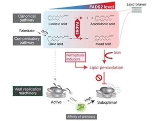 High levels of polyunsaturated fatty acids in liver cells linked to hepatitis C virus resistance
