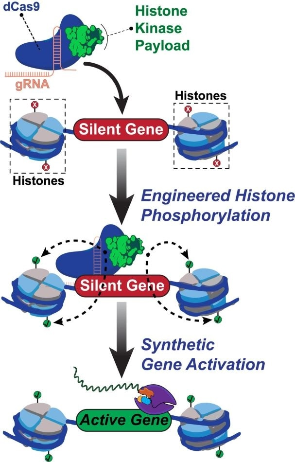 Researchers program genome tool to target specific histone proteins