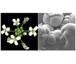 Study reveals mechanism through which plant hormone controls cell division