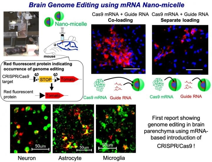 Optimized nano-micelles can induce efficient genome editing in mouse brain